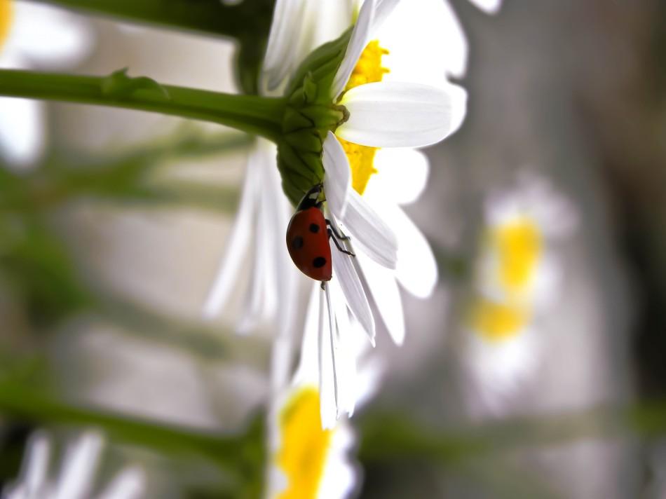 a ladybugs daisy